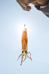 Live squid bait on a fishing hook. Mexico
