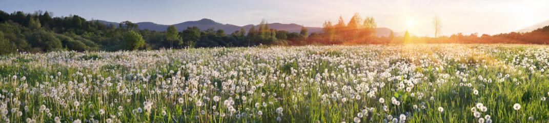 Dandelions at sunrise