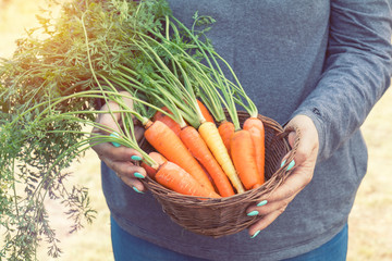 Woman holding a basket of freshly picked carrots in a carrot field on a farm on a sunny day. Coloring and processing photo with soft focus in instagram style.