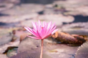 Lotus blossom flower at Hanoi, Vietnam