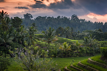 Printed roller blinds Rice fields Bali Rice Fields. The village of Belimbing, Bali, boasts some of the most beautiful and dramatic rice terraces in all of Indonesia. Morning light is a wonderful time to photograph the landscape.