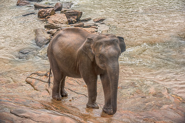 Sri lanka: one elephant in drinking and be bathing place, Pinnawala, the largest herd of captive elephants in the world