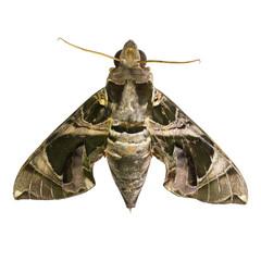 Hawk Moths or Sphinx Moths