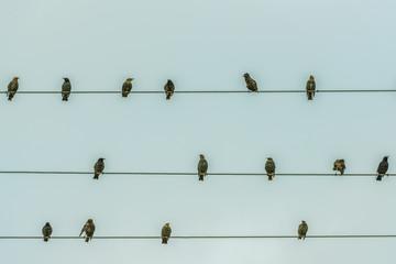 Скворцы на электрических проводах
