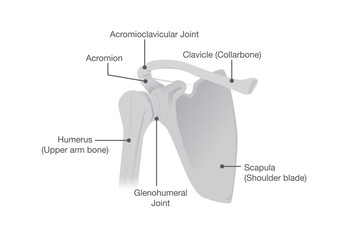 Bone and Joints of the Shoulder Anatomy. Illustration about Health and medical.