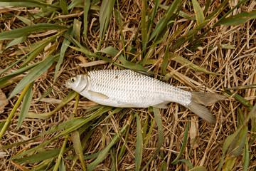 Caspian roach on the grass above view