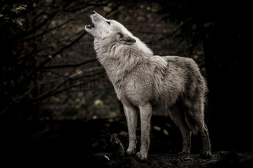 Fotobehang Wolf Wolf in the dark