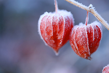 physalis in frost. Physalis in December