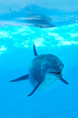 Dolphin underwater looking posing