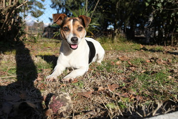 Jack Russell Terrier che riposa