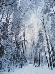 winter landscape forest in snow frost