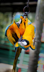 Poster Beautiful macaw parrots