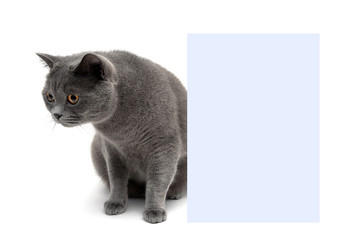 young cat sits near a banner on a white background