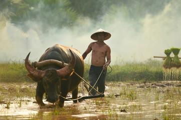 farmer and buffalo on during sunset,thailand