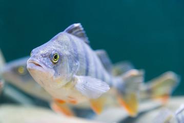 marine fish in the aquarium in glass