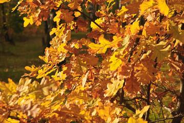 Search Photos Quercus Robur