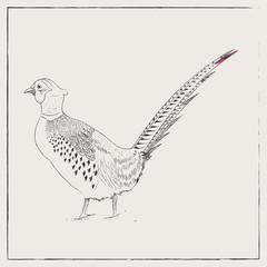 Pheasant Hand Drawn Pencil Sketch Illustration