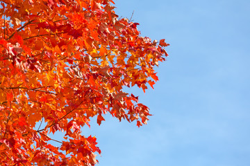 Red maple tree leaves with a wispy blue sky in the background.