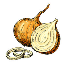 Onion hand drawn vector illustration. Isolated Vegetable artistic style object. Full, rings