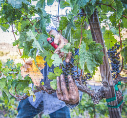 Harvesting grapes from vines