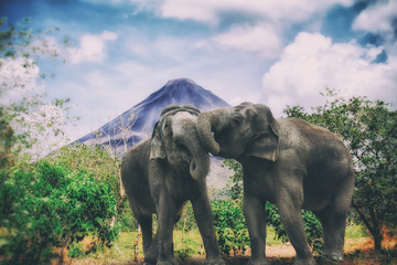 Elephants in Tropical Jungle with Volcano. Tropical scene with affectionate elephants in front of a jungle and volcano.