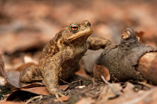 common toad, european toad, bufo bufo