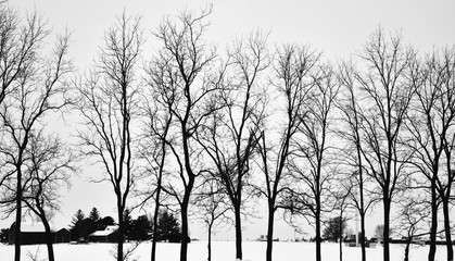 Winter Trees in a Row