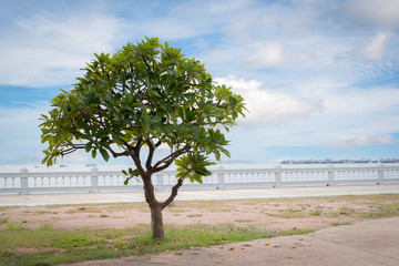 Lonely frangipani tree, Plumeria tree near White barrier of the beach in Thailand, Lonely scene concept.