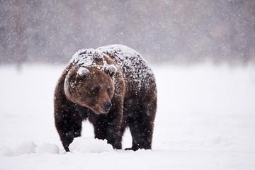 brown bear walking in the snow