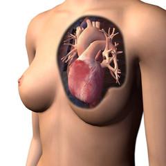 Female Chest with Heart Anatomy Reveled