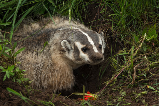 North American Badger (Taxidea taxus) Stands In Den to Right