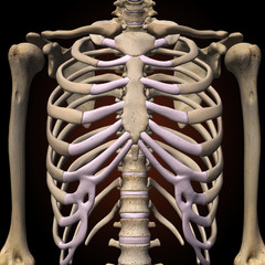 Female Rib Cage and Spine Front View