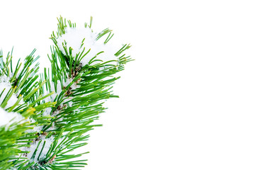 Spruce branch in snow on a white background