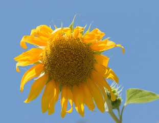 Sunflower flower against the sky