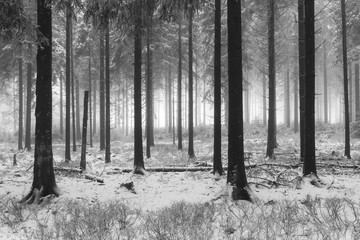 foggy forest winter