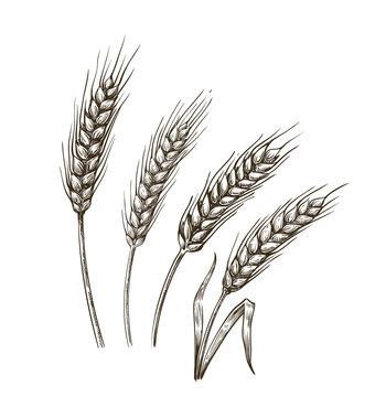 wheat ears sketch