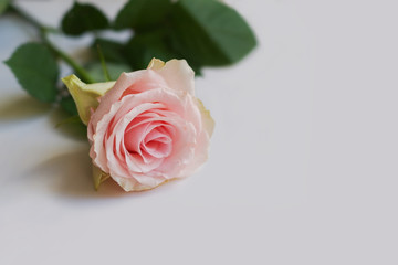 Beautiful pink rose with leafs on a light background