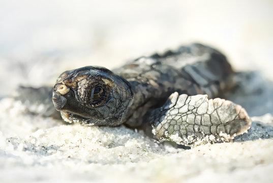 Hatchling loggerhead turtle (Caretta caretta) on beach, Florida, America, USA