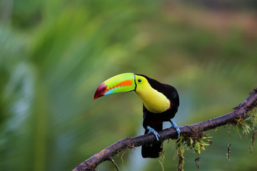 Regenbogentukan in Costa Rica