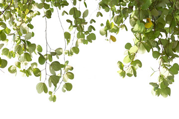 Green leaves of Bauhinia tree with sunlight isolated