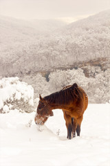 red horse grazing on a winter morning in the mountains