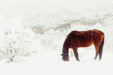 red horse earn their provender.. from under the snow on a mountain pasture in winter