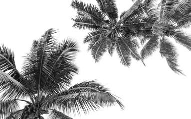 Photo sur Toile Palmier cimes noires de cocotiers, fond blanc