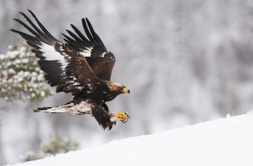 Golden eagle (Aquila chrysaetos) landing in snow, Flatanger, Norway. November.