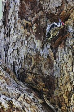 Yellow-bellied sapsucker (Sphyrapicus varius) female feeding at sap well. Dinero, Lake Corpus Christi, South Texas, USA.