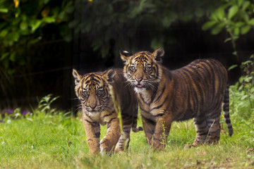 Sumatran tiger (Panthera tigris sumatrae) with cub, aged four months, captive, occurs in Sumatra, Indonesia.