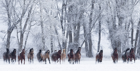 Quarter horses running in snow at ranch, Shell, Wyoming, USA, February.