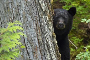 Black bear (Ursus americanus) peering from behind a tree, Blue River, Clearwater, British Columbia, Canada, North America.