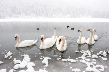 Austria, Kleinarl, group of mute swans on Jaegersee in winter