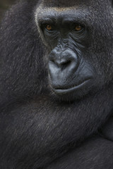 Western lowland gorilla, (Gorilla gorilla gorilla) portrait, captive, occurs in Central Africa. Critically endangered.